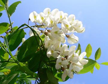 Акация белая робиния цветки белые