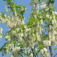Дерево белой акации