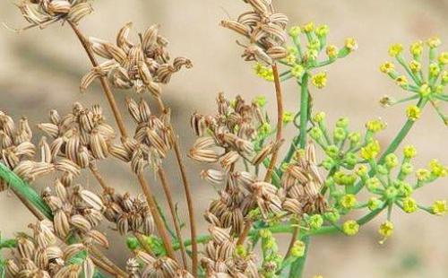 Вызревают коричневые семена аниса