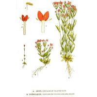 Рисунок земляной травы