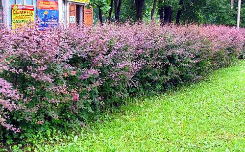 Декоративная живая изгородь из барбариса