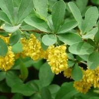 Жёлтые цветы кислянки
