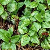 Аккуратные листья зимозоля