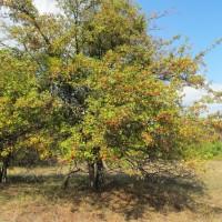 Раскидистое дерево боярышника кроваво-красного