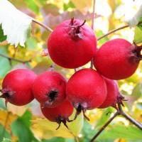 Гроздь ярко-красных плодов боярки