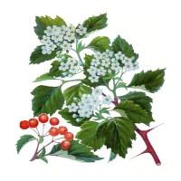 На рисунке изображены цветы и ягоды