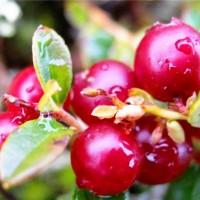 Спелые ягодки, покрытые росой