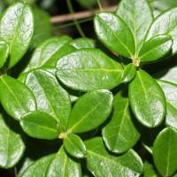 Яйцевидные блестящие листочки боровики