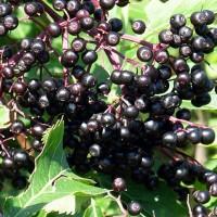 Урожай сочных ягод бузинника