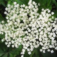 Крохотные белые цветочки похожи на звёздочки