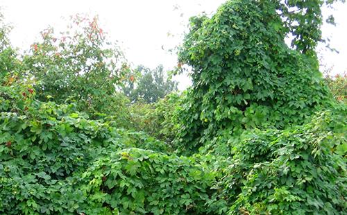 Быстрорастущая лиана хороша для создания живых стен в садах
