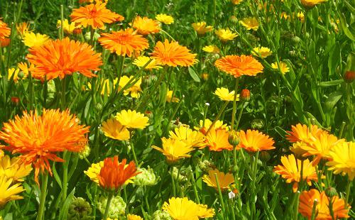 Целое поле солнечных цветов