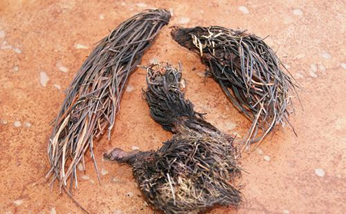 Высушенные корни красной щётки