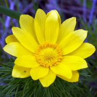 Горицвет весенний крупным планом