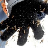 Семена прицепились к чёрной вязаной перчатке