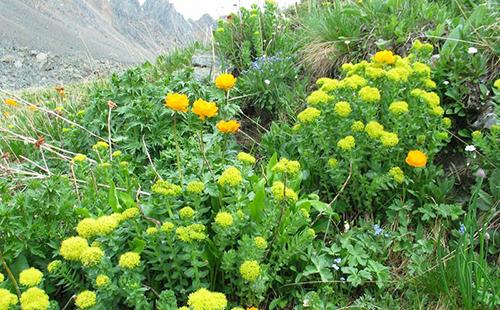 Густые заросли цветущих растений на склоне