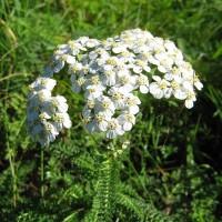 Белая шапочка цветов гулявицы