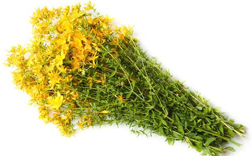 Большой пучок лекарственной травы