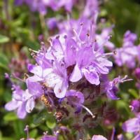 Цветок богородской травы крупным планом