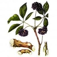 Корень сибирского женьшеня на рисунке