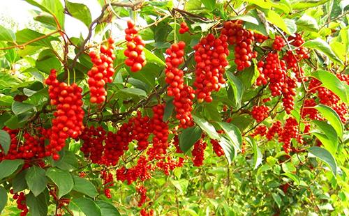 Красные грозди плодов дальневосточной лианы
