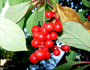 Лекарственное растение лимонник дальневосточный