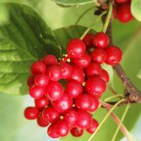 Спелые ягоды крупным планом