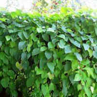 Заросли лианы украсят любой сад
