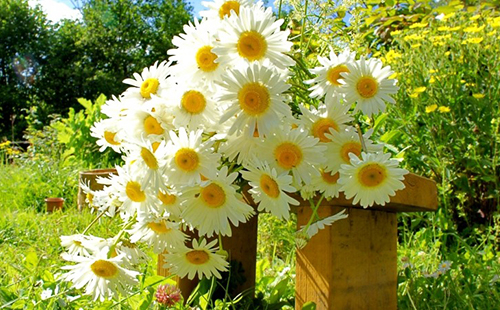 Весёлый букет романовой травы