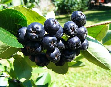 Черноплодная рябина: польза и вред