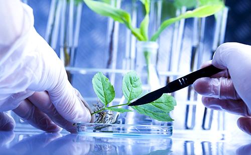 Качество листочка тщательно изучают в лаборатории