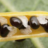 Чёрные с гребешками семечки желтушника