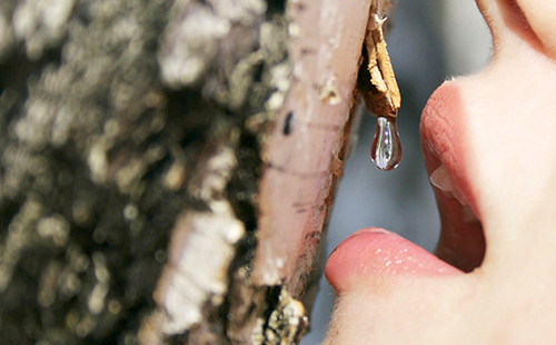 Девушка ловит губами каплю берёзового сока