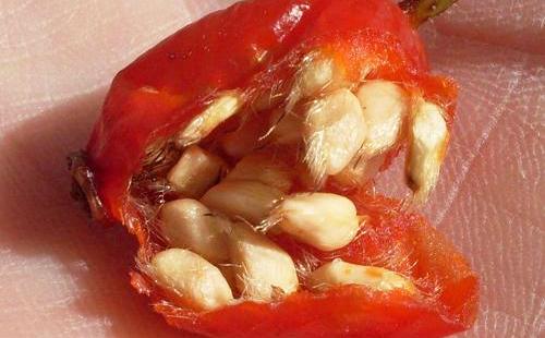 Семена в разломанной ягоде на ладони