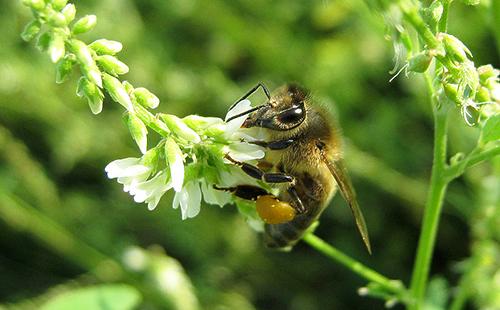 Пчела на цветке белого донника