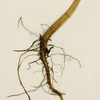 Ветвистый корень шальной травы