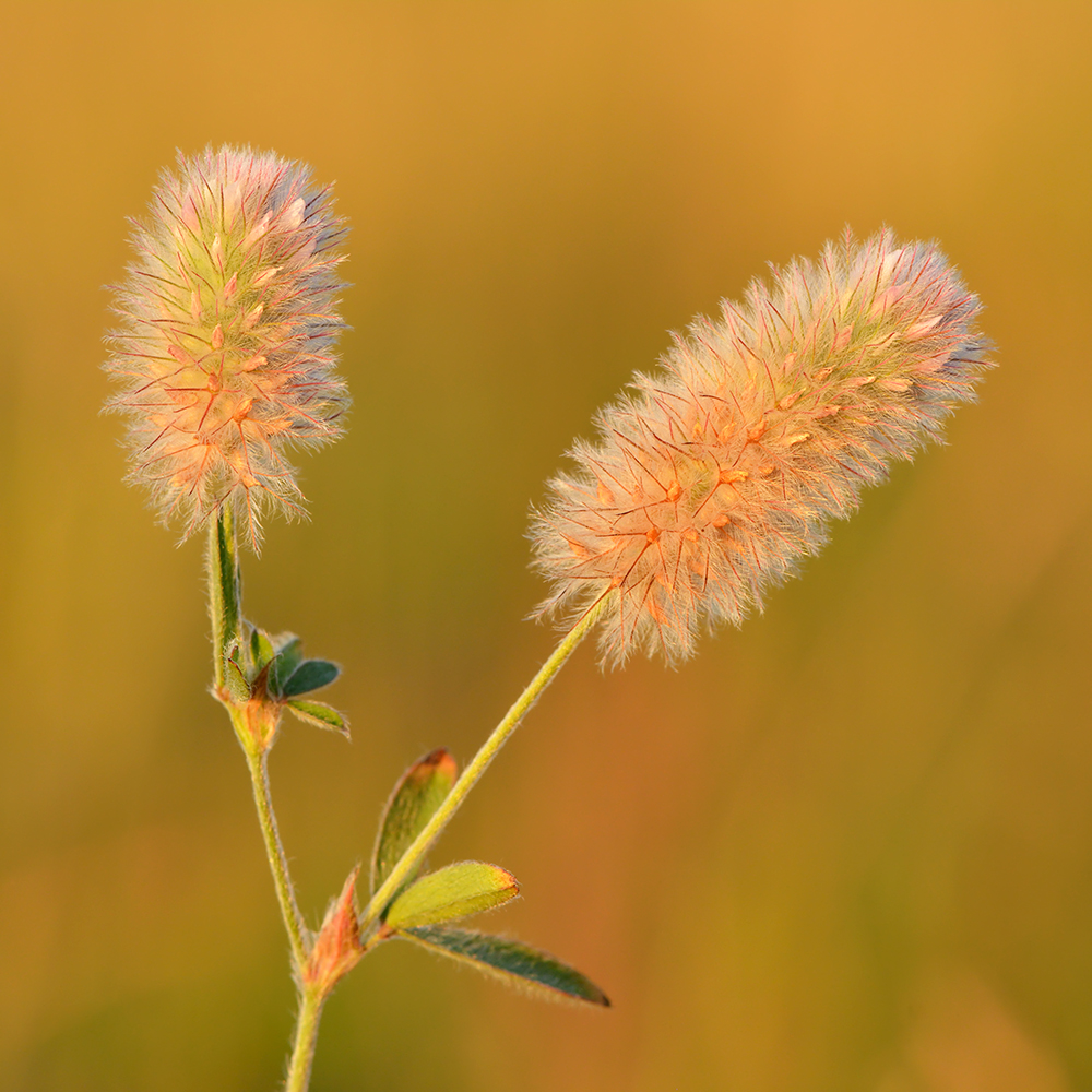 Спирт цветы клевера