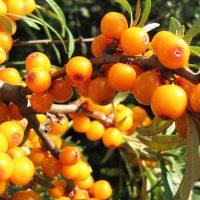Спелы оранжевые ягоды