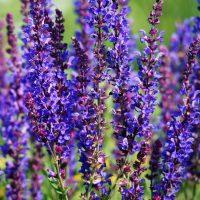 Фиолетовые соцветия самосея