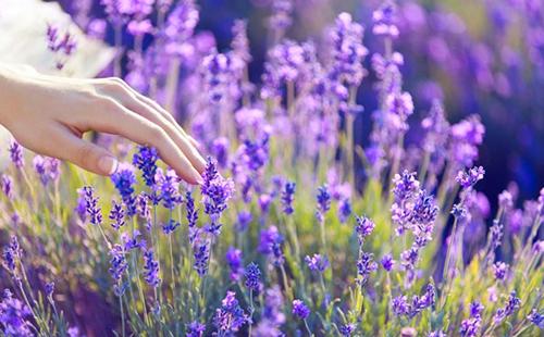 Девичья рука ласкает цветы шальвии