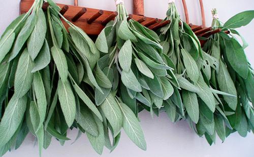Пучки листьев медовки развешаны на просушку