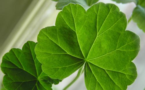 Большой и пахучий лист пеларгонии