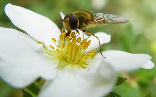 Пчела на цветке пятипала