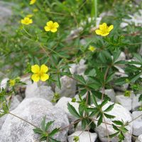 Цветы калгана на серых камнях