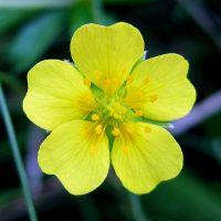 Цветок узика крупным планом