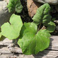 Двуликие листья табачной травы
