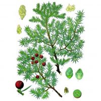 Картинка из ботанического справочника