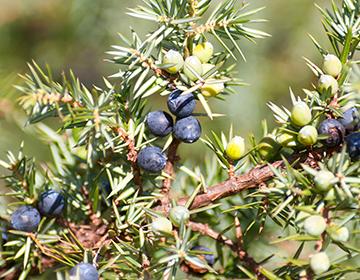 Ягоды можжевельника: лечебные свойства и противопоказания для здоровья человека