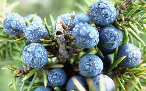Покрытые росой плоды арчи
