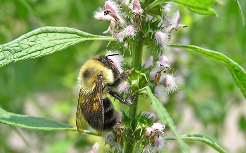 Пчёлка собирает целебный нектар сердечника